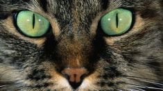 yeux-de-chat-illustration_70954_w460